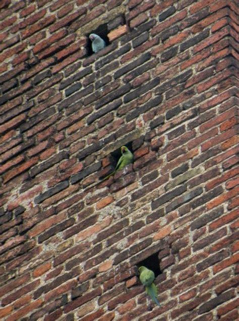 tempo italia pavia parrocchetti dal collare a pavia forum natura