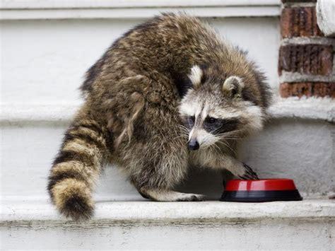raccoon removal service in toronto gta sos wildlife