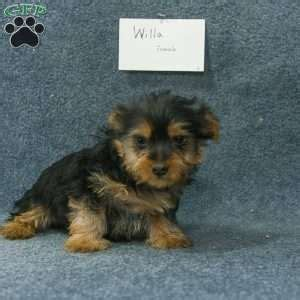 silky terrier puppies for sale silky terrier puppies for sale in de md ny nj philly dc and baltimore