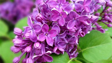 oboi tsvety fioletovye vesna skachat oboi na rabochiy stol tsvety