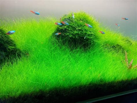 Aquarium Plants 3 hairgrass on 3 x 5 mat foreground carpet aquarium