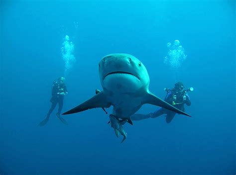 dive shark bullshark diving protea banks south africa
