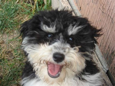 dogs like havanese 17 best images about havanese dogs on coats dogs and island