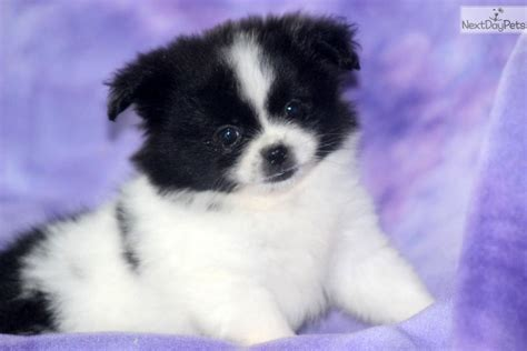 peekapom puppies peek a pom puppy for sale near lancaster pennsylvania e5f17a66 db91