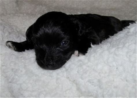 yorkie poo puppies for sale nc view ad yorkie poo puppy for sale carolina huntersville