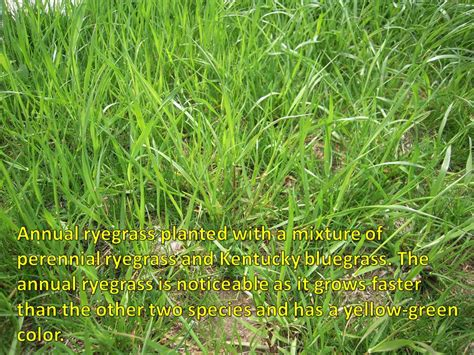purdue turf tips annual ryegrass showing up in lawns