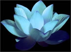 Www Lotus Five Lotusbloem Archives Lightangelmarianne