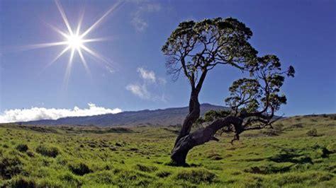 koa the king of hawaiian woods aloha hawaii