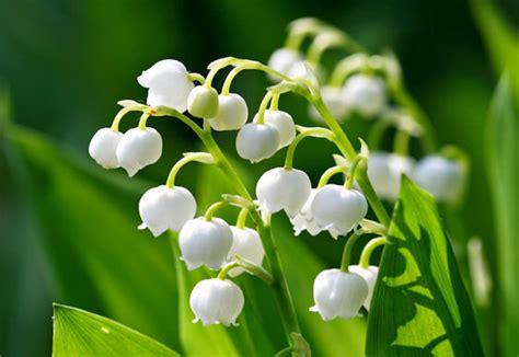 il mughetto fiore scelte per te giardino fiore mughetto