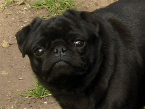 black pug puppie black pug at stud leicester leicestershire pets4homes