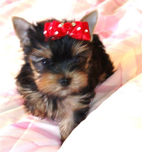 clothes for yorkies yorkie boy clothes breeds picture