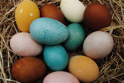 blue breeds types of chickens that lay blue eggs www pixshark images galleries with a bite
