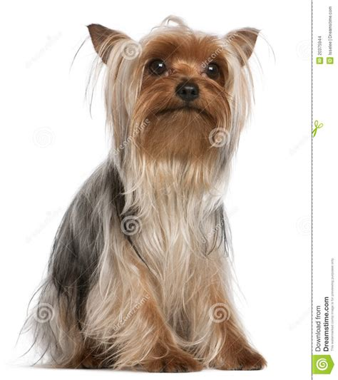 picture of one year old yorkie with puppy cut yorkshire terrier 1 year old sitting stock images