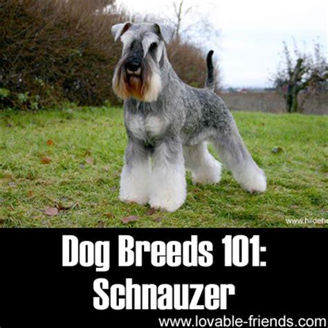 dogs 101 schnauzer breeds 101 schnauzer lovable friends