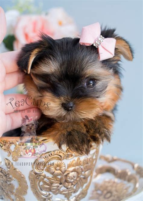 yorkie puppies for sale in broward county teacup yorkies for sale by teacups puppy boutique teacups puppies boutique