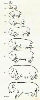 felstead gundogs canine foetus development chart