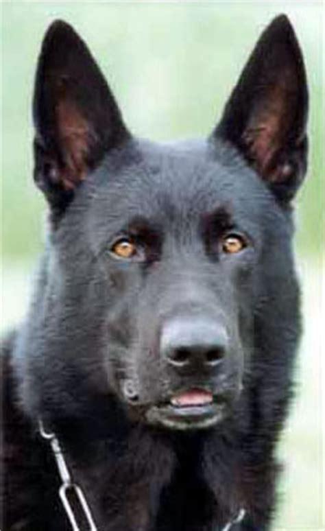 pano in dogs leerburg panosteitis or pano