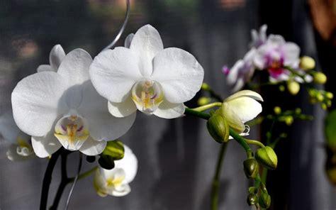Pot Anggrek Bulan cara budidaya tanaman hias bunga anggrek bulan tanaman