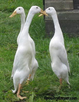 Bebek Ride On Duck Dinaiki 81 best images about ducks on runners mothers