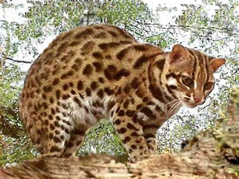 house cats that look like leopards asian leopard cats cats that look like leopards leopard cat asian leopard cat and cat