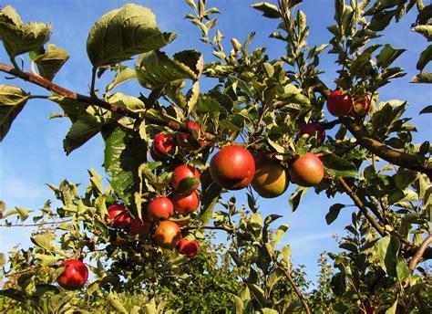 Rnb Oza pin apfelbaum im sommer lizenzfreie bilder mev verlag on