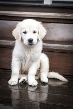 golden retriever or labrador which one should i get 12 reasons why you should never own shih tzus