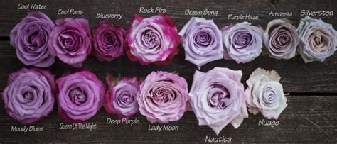 types of purple the lavender purple rose study flirty fleurs the