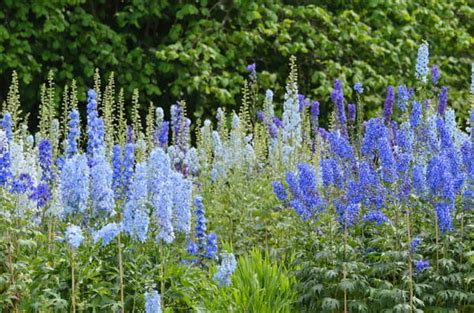 growing delphiniums from seed mississauga master gardeners
