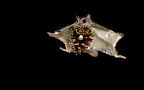 scoiattoli volanti 1 siberian flying squirrel hd wallpapers backgrounds