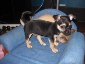 teacup pomeranian for sale sydney teacup chihuahua puppies for sale brisbane free classifieds in australia