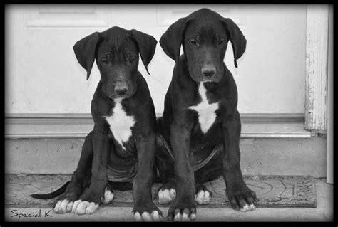 alimentazione alano cucciolo alano gigante cani taglia grande alano gigante