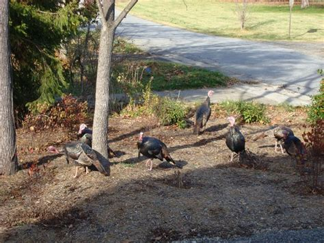 thanksgiving in asheville beaverdam asheville wild turkeys