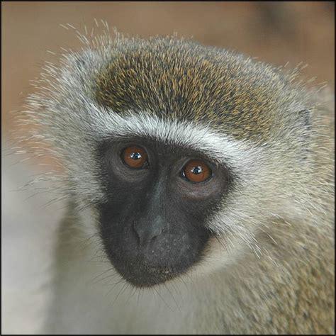 nicko the tale of a vervet monkey on an farm books vervet thinking