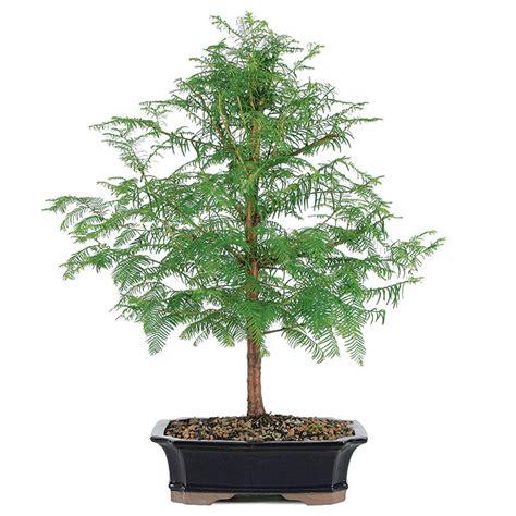 Fairy Home Decor dawn redwood bonsai care