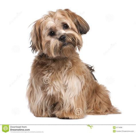 8 month puppy shih tzu puppy 8 months royalty free stock photos image 9774088