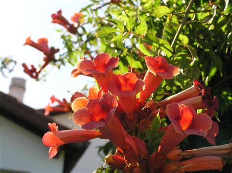 piante perenni da vaso con fiori piante ricanti perenni e annuali in vaso giardinaggio