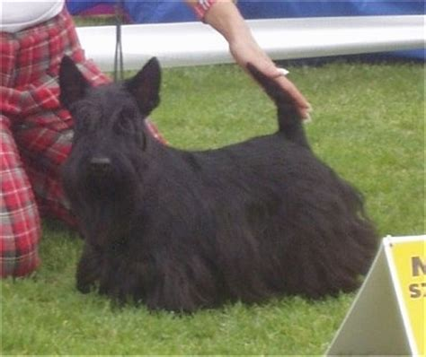 hair cuts for a scottish terrier scottish terrier haircuts image search results
