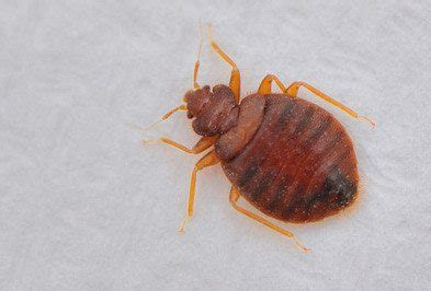 bed bugs color what color is a bed bug 28 images bed bug blog what