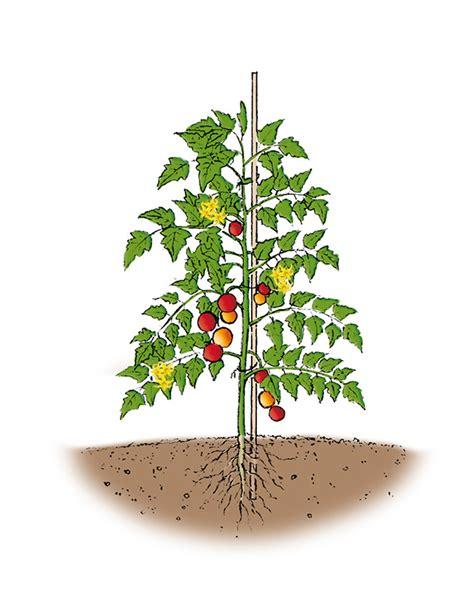 pianta di pomodoro in vaso passione orto giardino e allevamento marzo 2016