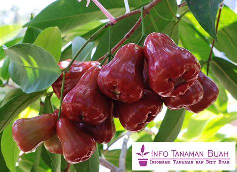 Jual Bibit Jambu Air Thailand bibit jambu air citra rasa manis segar dengan warna buah