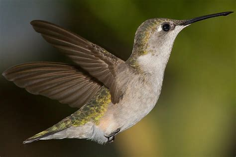 how hummingbirds fly hummingbird wings and mechanics