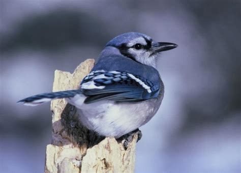bird sounds and songs of the blue jay the old farmer s