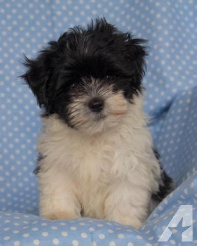 akc havanese puppies for sale akc havanese puppies for sale in scurry classified americanlisted