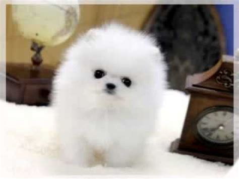 price of a pomeranian white teacup pomeranian price
