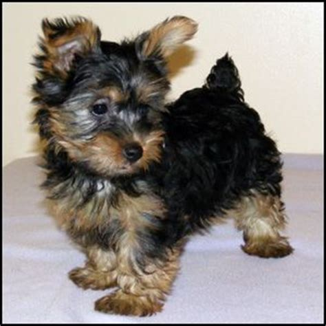 yorkie haircuts for a silky coat 17 best ideas about silky terrier on pinterest yorkie