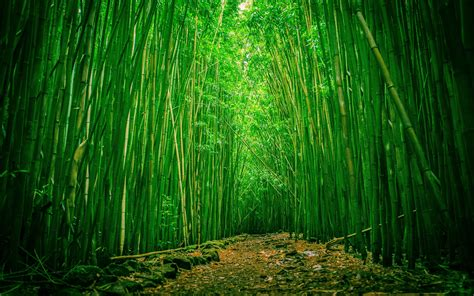 imagenes wallpaper bamboo bamboo forest wallpaper hd wallpaper wallpaperlepi