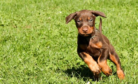 doberman puppy doberman puppy breeds picture