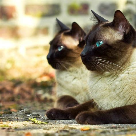 8 Reasons To Get A Siamese Cat by Beautiful Siamese Cat Www Pixshark Images