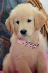 puppy names for golden retrievers golden retriever names breeds picture