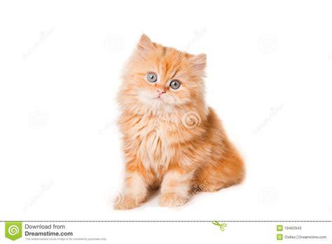 gatti persiani gratis piccolo gattino persiano rosso immagine stock immagine